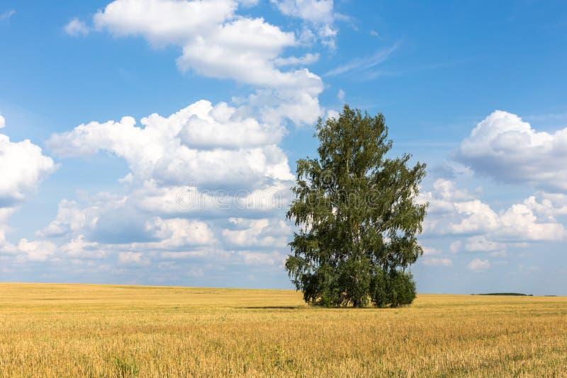偏僻桦树的域 风景 免版税库存图片