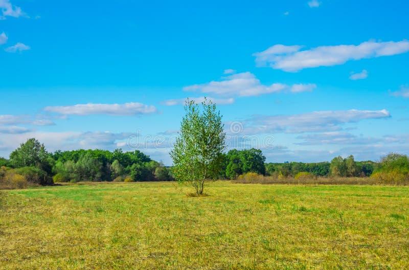 偏僻桦树的域 免版税库存图片
