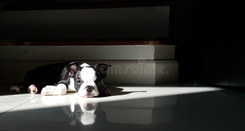 偏僻的小的波士顿狗 库存照片