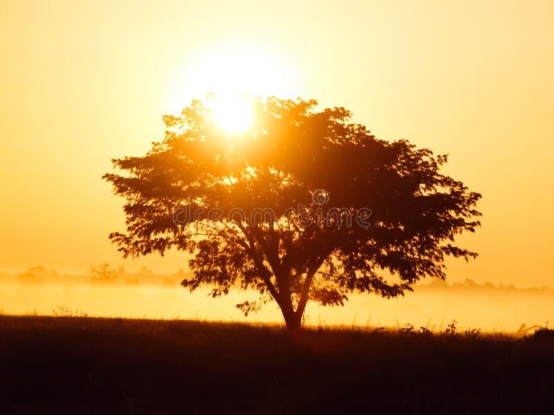 偏僻的树剪影在日出的与作为背景的薄雾 库存图片