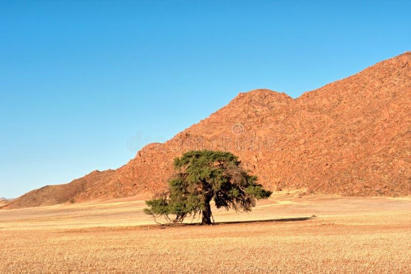偏僻的树在沙漠 图库摄影