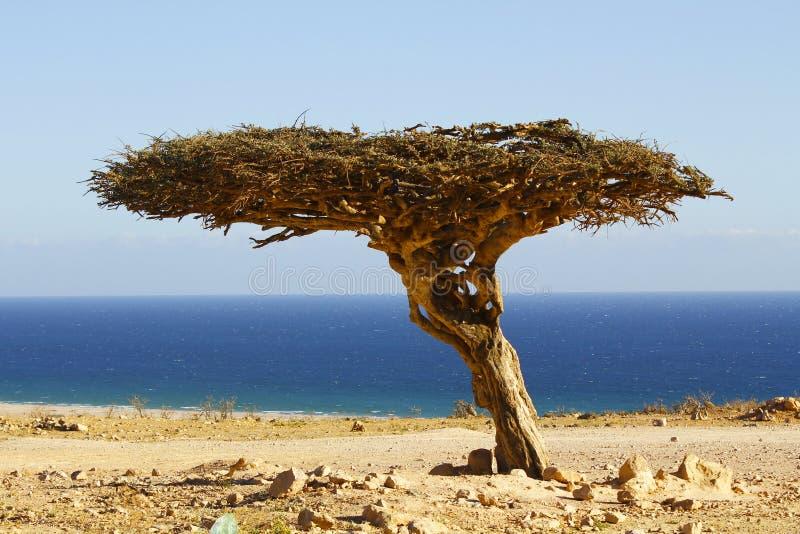 偏僻的树在阿曼沙漠 库存照片