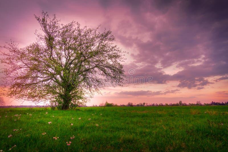 偏僻的树,春天日落 库存照片