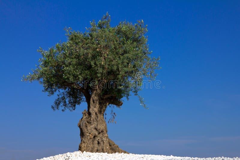偏僻的橄榄树 免版税库存照片