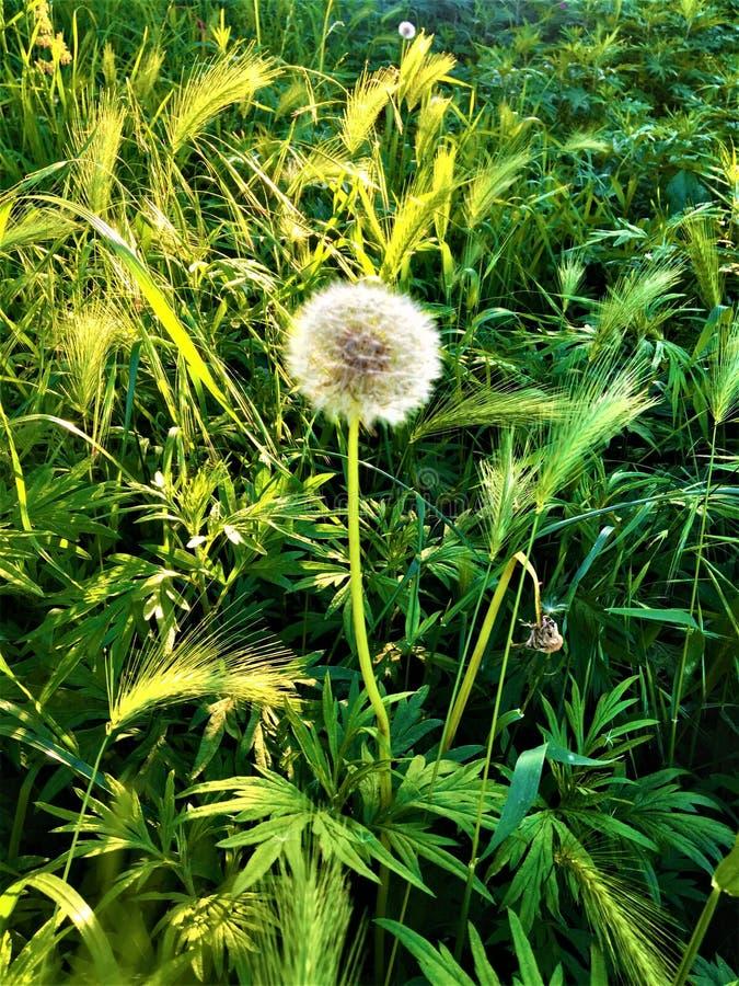 做一个愿望!自然、梦想、蒲公英和光 免版税库存图片