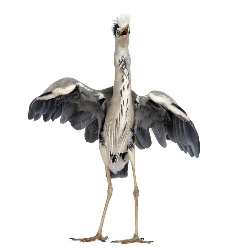 做一个联接的舞蹈的一只灰色苍鹭的正面图 免版税库存照片