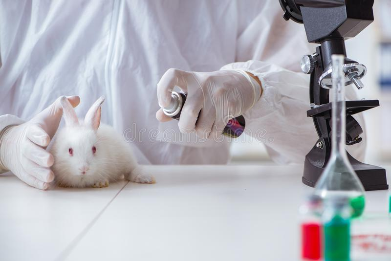 做动物实验的科学家在实验室用兔子 库存图片