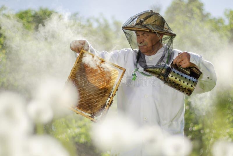 做在蜂房的资深养蜂家检查春天 免版税库存照片
