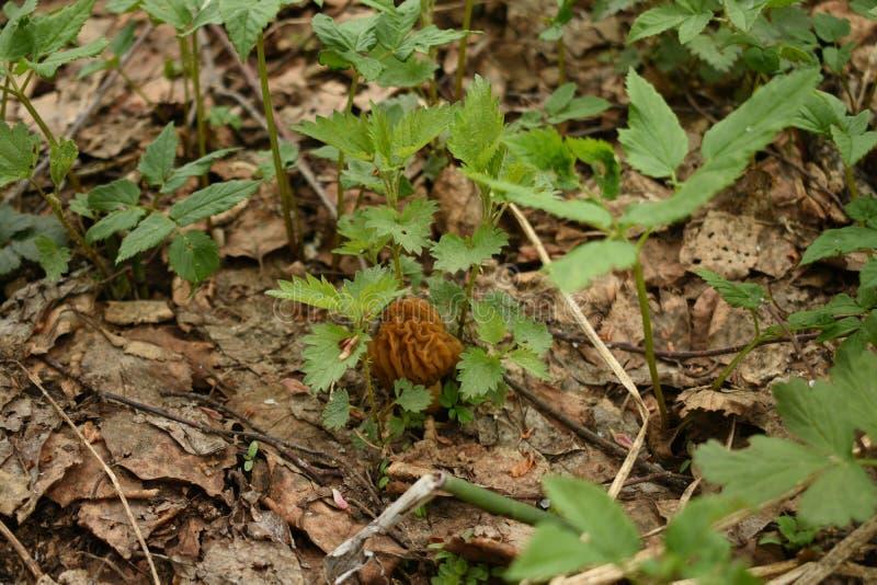做它的方式的年轻,小,起皱纹的蘑菇通过干燥叶子 库存图片