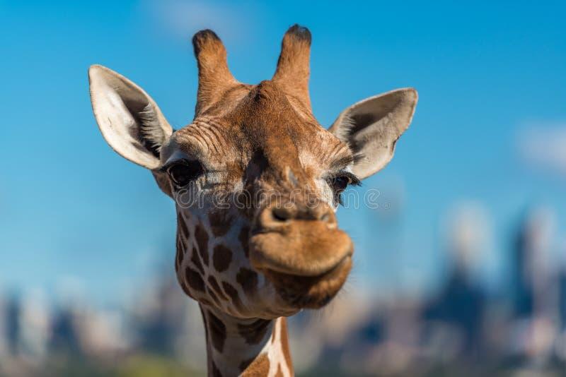做怀疑面孔的长颈鹿,当嚼食物时 免版税库存照片