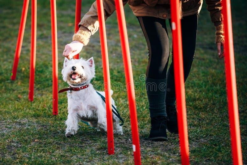 做敏捷性的西部高地白色terrierdog - 免版税库存图片