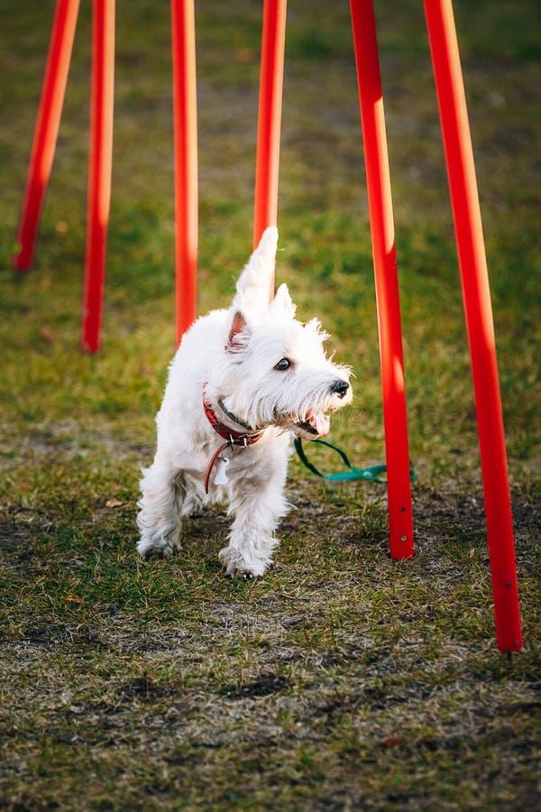 做敏捷性的西部高地白色terrierdog - 免版税库存照片