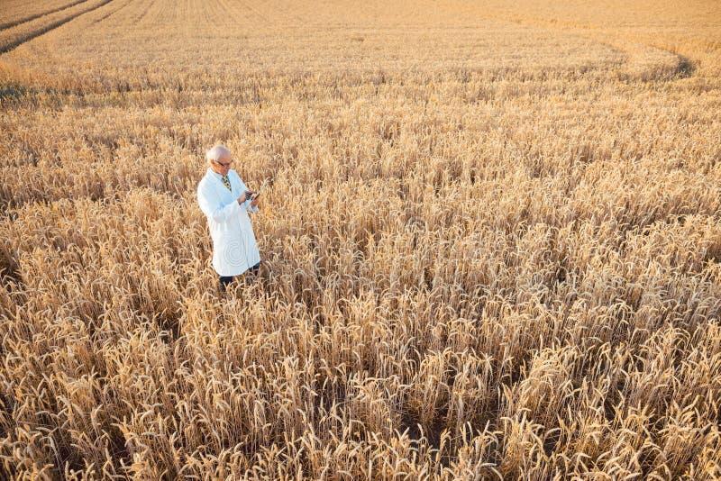 做新的GMO五谷的野外试验更好的出产量的科学家 库存照片