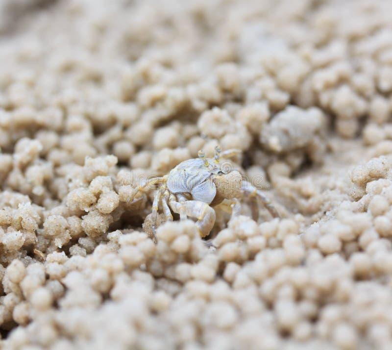 做沙子球的螃蟹 免版税库存图片