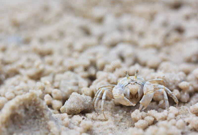 做沙子球的螃蟹 免版税图库摄影
