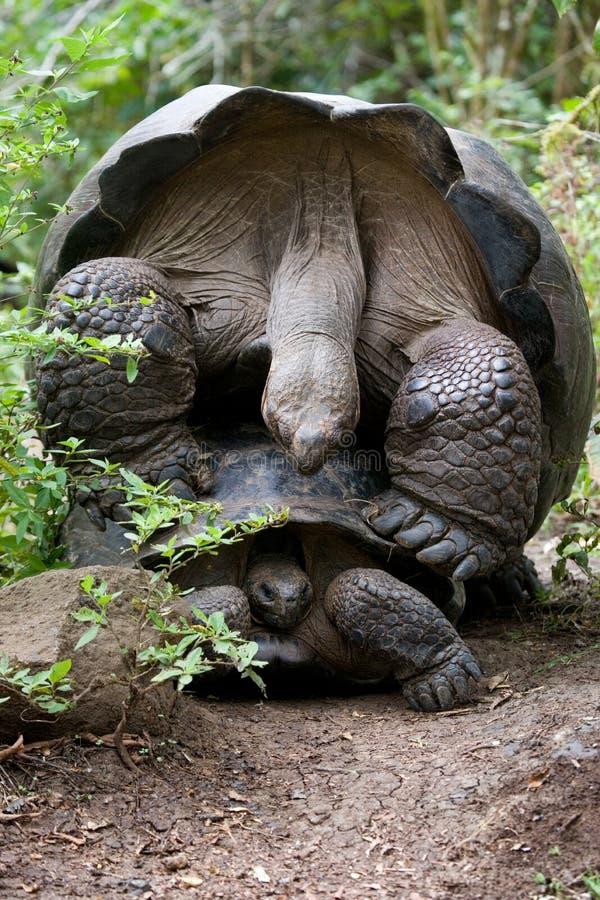 做爱的两只巨型乌龟 加拉帕戈斯群岛 海洋太平洋 厄瓜多尔 免版税库存图片