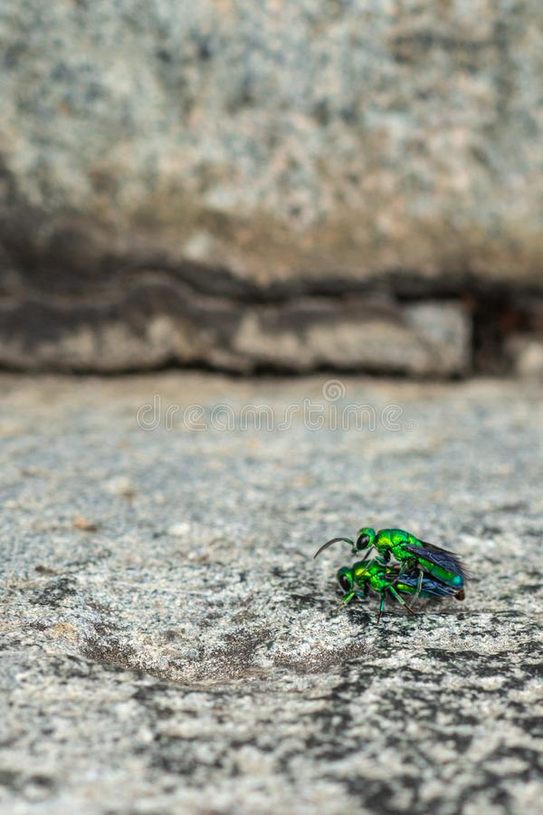 做爱的两只珠宝甲虫在Chennakeshava寺庙在贝鲁尔,印度 库存照片