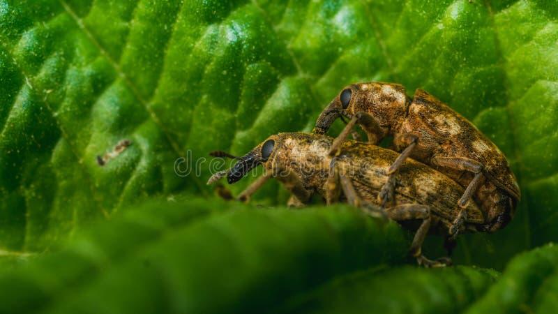 做爱的对昆虫 库存照片