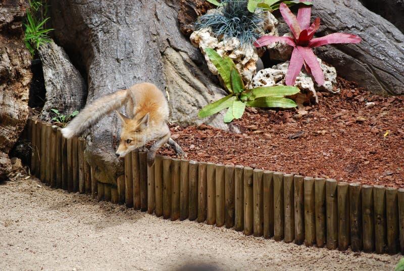 做轮的Fox 库存照片