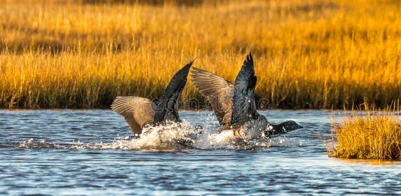 做软着陆的黑雁 免版税库存图片