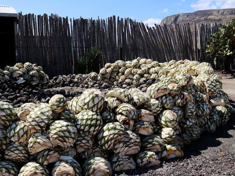 从做酶斯卡尔酒或Mezcal的龙舌兰植物的牡鹿 免版税库存照片