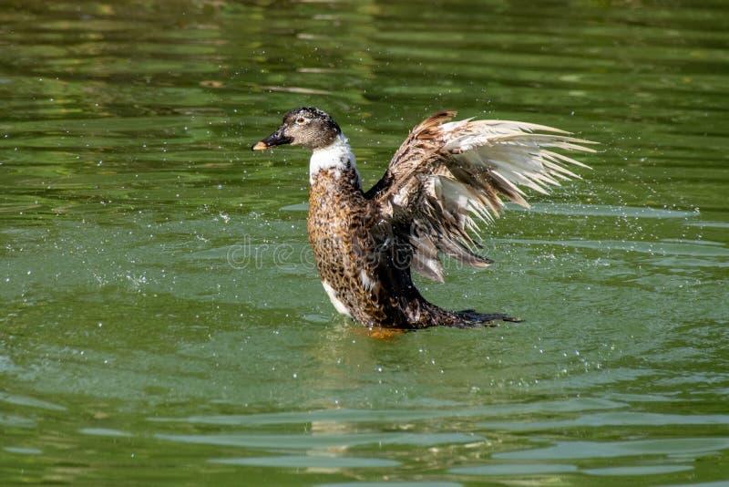 做飞溅的鸭子在湖 免版税库存照片