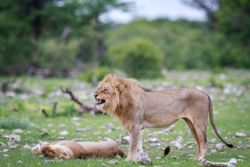 做flehmen鬼脸的公狮子 免版税图库摄影
