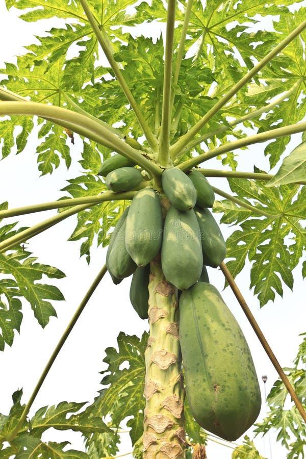 停止从结构树的束番木瓜 免版税库存图片