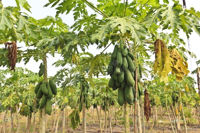 停止从结构树的束番木瓜 库存照片