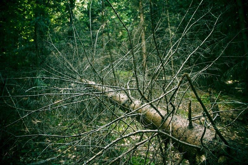 停止的杉树 免版税库存照片
