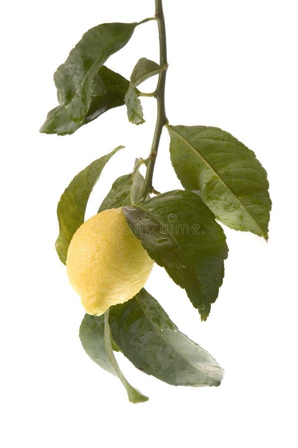 停止的柠檬独奏结构树 免版税库存照片