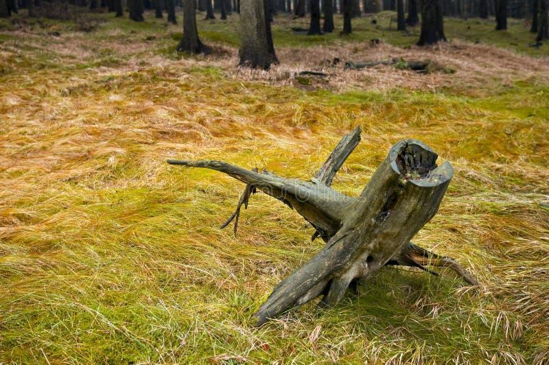 停止的树桩结构树 免版税库存照片
