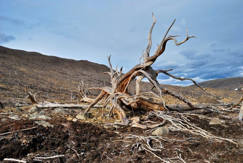 停止的根结构树 免版税库存图片