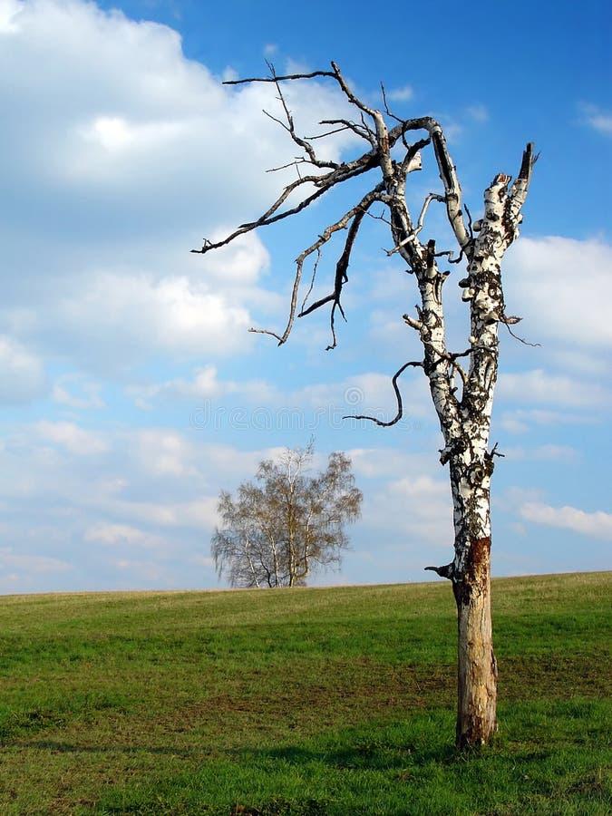 停止的桦树 库存照片