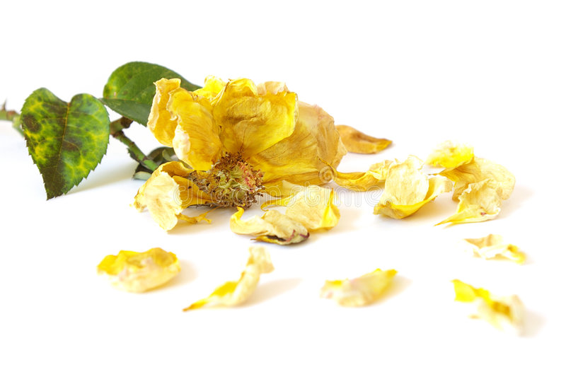 停止的玫瑰黄色 库存照片
