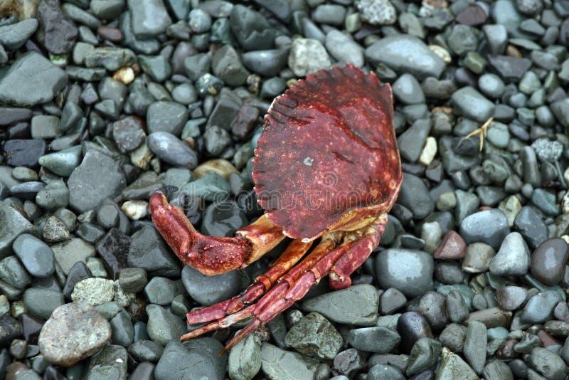 停止的螃蟹 库存图片
