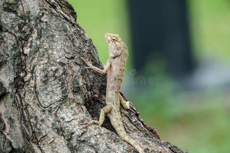 停留东方庭院的蜥蜴它的攀登 免版税库存照片