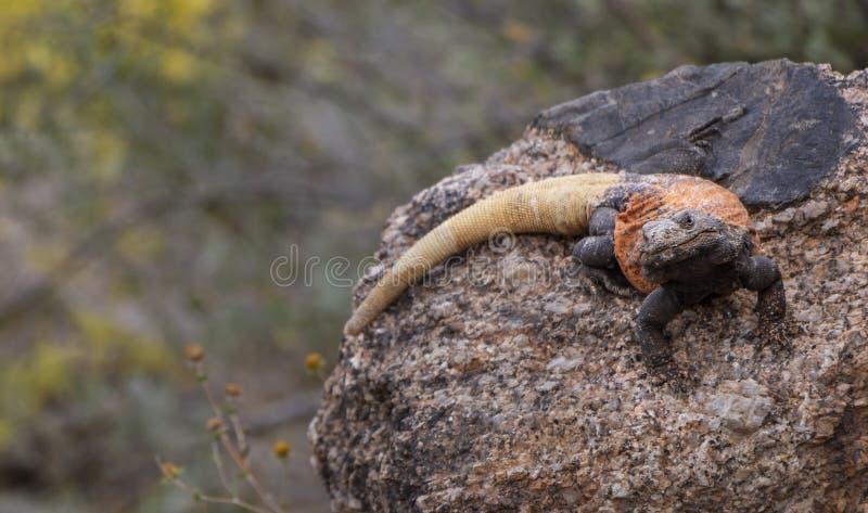 停留在峭壁的沙漠蜥蜴在菲尼斯AZ附近 库存照片