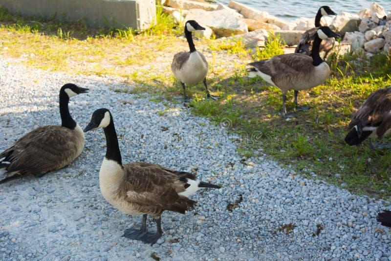 停留在庭院里的小组鸭子 库存照片