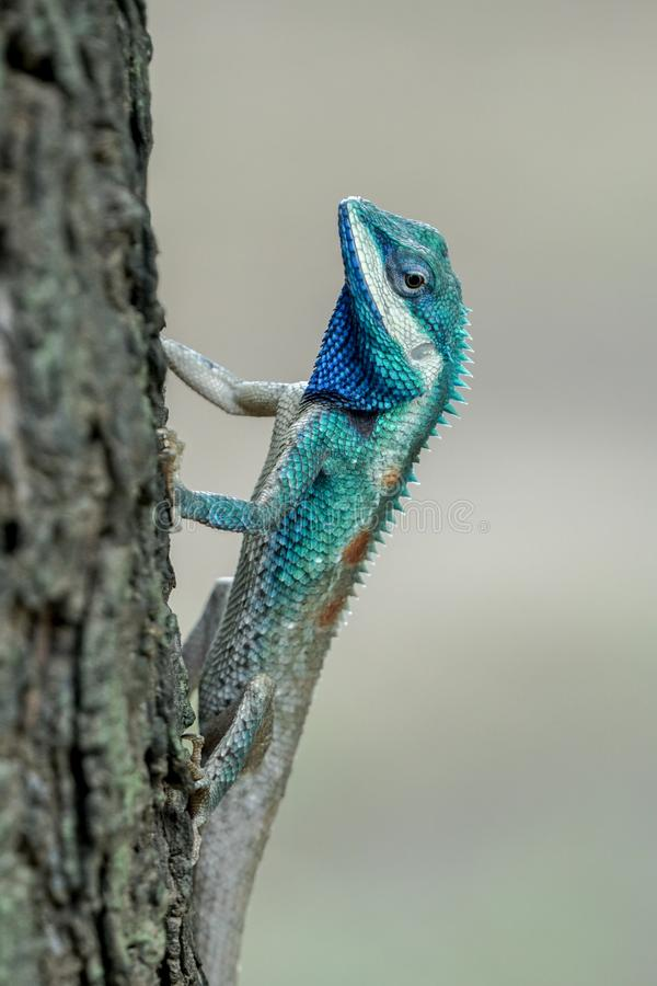 停留在树的青有顶饰蜥蜴 库存照片
