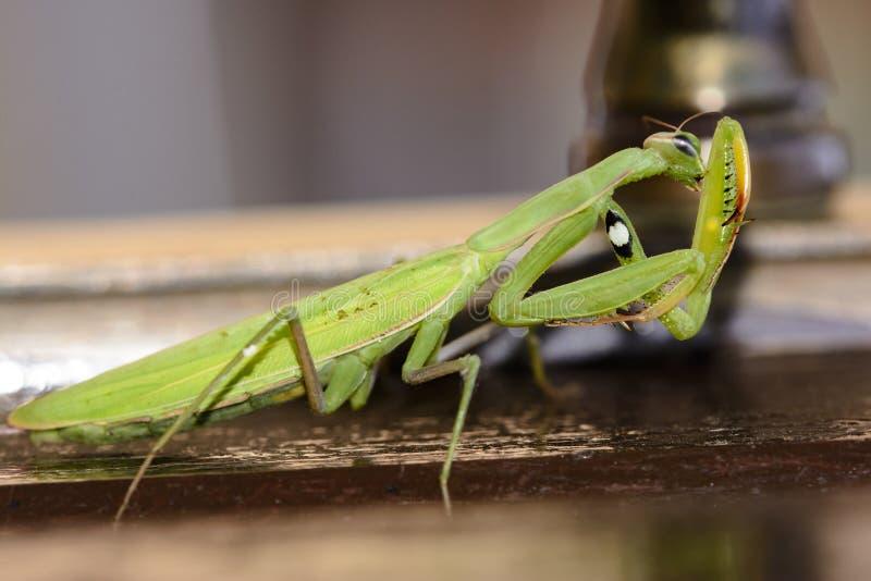 停留在棕色木头的绿色螳螂科细节 免版税库存照片