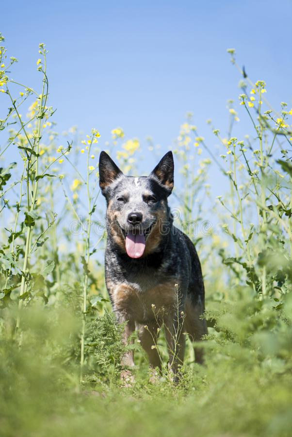 停留在油菜籽领域的澳大利亚牛狗 免版税库存图片
