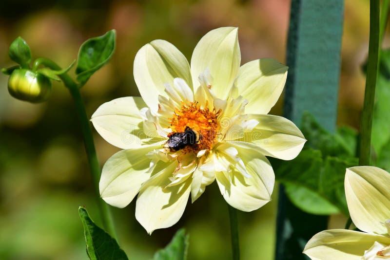 停留在黄色大丽花的蜂 免版税库存图片