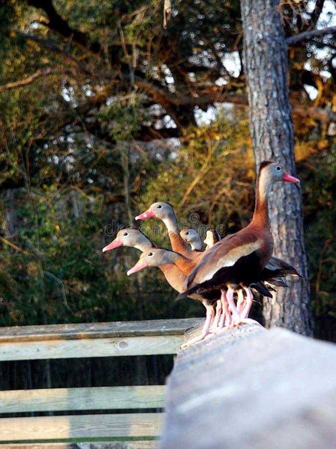 Download 停留 库存照片. 图片 包括有 动物园, 路易斯安那, 鸭子, 社区, 本质, audy, 奥尔良, 学院, 双翼飞机 - 178312