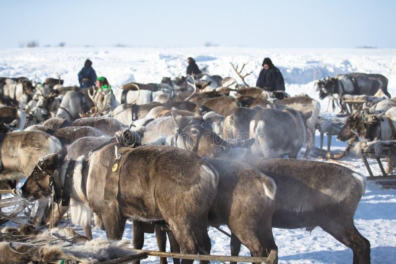 停车处雪撬驯鹿 免版税图库摄影