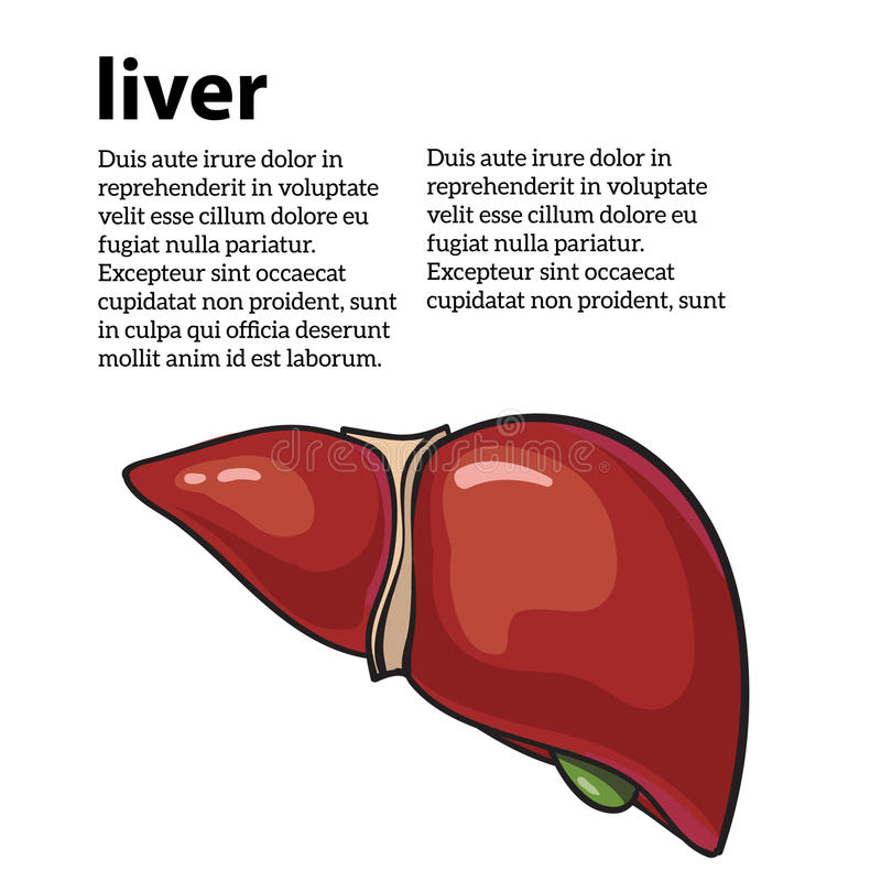 健康人的肝脏 库存例证