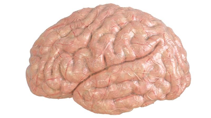 健康人脑- 3D翻译 向量例证
