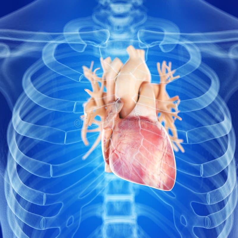 健康心脏 库存例证