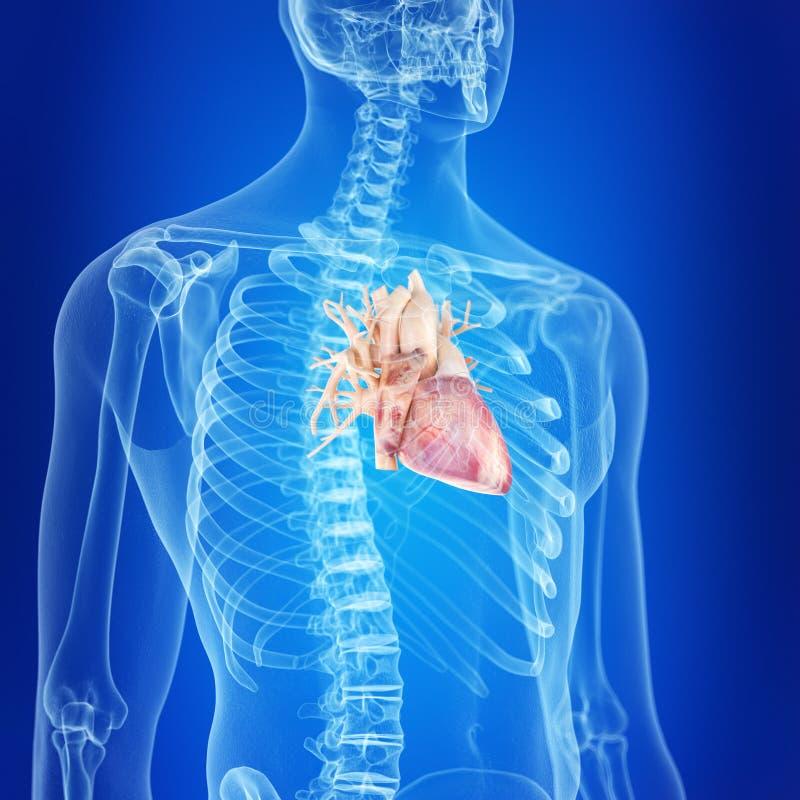健康心脏 皇族释放例证