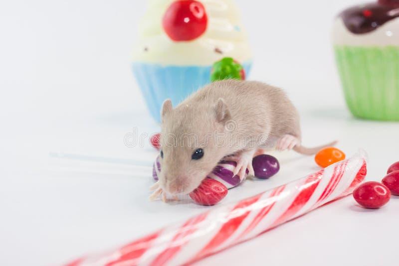健康牙概念 在甜点背景的啮齿目动物  库存图片